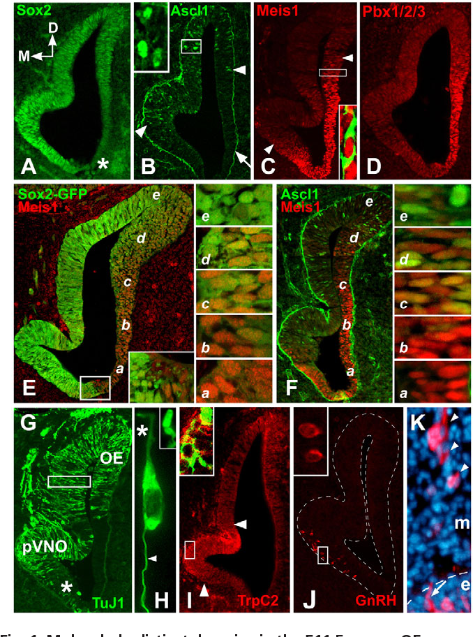 Fig. 1. Molecularly distinct domains in the E11.5 mouse OE. (A)Graded Sox2 expression is highest in the medial presumptive vomeronasal organ (pVNO), and lowest ventrolaterally (asterisk). (B)Ascl1 is expressed from the dorsolateral OE through medial pVNO region (between arrowheads), mostly overlapping high Sox2 expression; arrow indicates non-specific basal lamina labeling. Inset: higher magnification of the boxed region shows Ascl1-positive nuclei. (C)Meis1 expression begins ventromedially, peaks in the lateral OE and declines dorsolaterally. Inset: higher magnification of region boxed shows nuclear Meis1 in nascent TuJ1-labeled OE neurons. (D)Pbx1/2/3 is expressed in the lateral OE and, like Meis1 expression, declines dorsally. (E)Graded expression of Sox2 (Sox2-eGFP reporter) and Meis1 is complementary. There is a sharp ventral boundary (box, inset). a-e indicate the levels of sections shown in the panels on the right. Varying levels of complementary Sox2 and Meis1 expression are found in cells at distinct ventrolateral (a) to dorsomedial (e) locations. Little if any Meis1 is seen dorsally (e) where Sox2 predominates. (F)Ascl1 and Meis1 are also complementary; however, robust Ascl1 labeling begins only in dorsomedial locations (d, e, right panels), where Meis1 is nearly undetectable. (G)TuJ1-labeled OE neurons are seen at low frequency dorsolaterally, become concentrated dorsomedially through the pVNO and decline to a few scattered cells in the extreme ventromedial OE (asterisk). Box indicates region shown in H. (H)TuJ1labeled OE neurons have cytological hallmarks of ORNs and VRNs: a single apical process (asterisk), apparent 'dendritic knob' (inset) and a single axon (arrowhead). (I)VRNs are distinguished by enhanced expression of TrpC2 (red) within the pVNO (between arrowheads), apparently on the cell surface of TuJ1-labeled neurons (green, inset). (J)GnRH neurons are seen within, or ventral to, the pVNO. Inset: higher magnification of boxed region, showing two