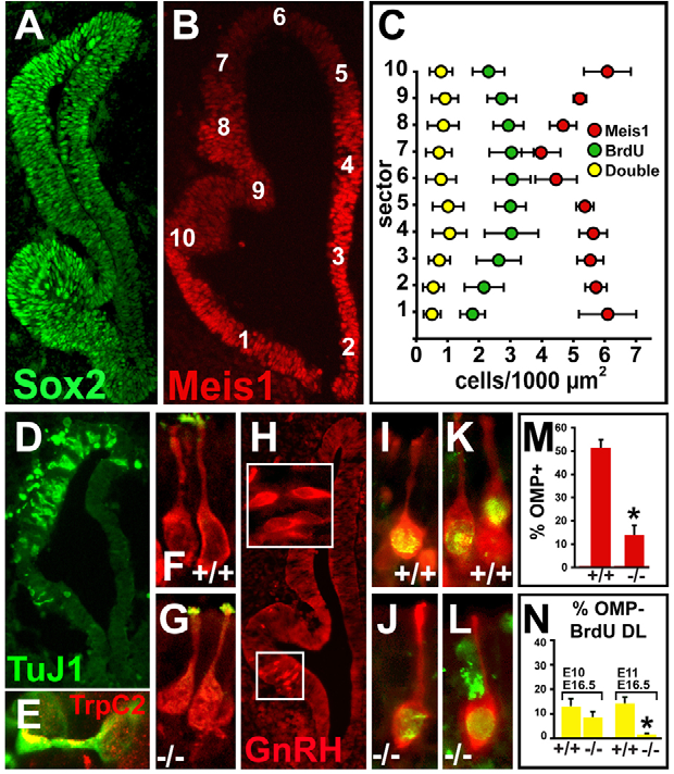 Fig. 6. Precursor and neuron identity in the Ascl1–/– mutant OE. (A)The Sox2 medial-lateral gradient is preserved in the E11.5 OE. (B)Heavily labeled Meis1 cells remain concentrated in the lateral OE in Ascl1–/– E11.5 mouse embryos, whereas moderately labeled cells expand medially. (C)Frequency and distribution of Meis1 cells, acutely labeled BrdU cells and Meis1/BrdU double-labeled cells is altered in the Ascl1–/– OE. Positions of the cells are indicated in B. (D)Limited neuronal differentiation, recognized with TuJ1, is seen in the E11.5 Ascl1–/– OE. (E)TrpC2 (red) expression can still be detected in a small subset of Ascl1–/– OE neurons (green). (F,G)OMP and the ORN-selective adenylyl cyclase ACIII (green) are expressed and localized appropriately in Ascl1–/– ORNs at E16.5. (H)GnRH neurons are generated in or near the pVNO in Ascl1–/– embryos. (I-L)ORNs in the E16.5 Ascl1–/– OE are birthdated with BrdU at E10 (earliest ORN genesis; I, J) and E11 (K,L). (M)Frequency of OMP-positive ORNs in the E16.5 Ascl1–/– OE is substantially reduced. (N)Near-normal frequency of ORN genesis at E10 declines to near zero by E11 in the E16.5 Ascl1–/– OE. *P≤0.02.