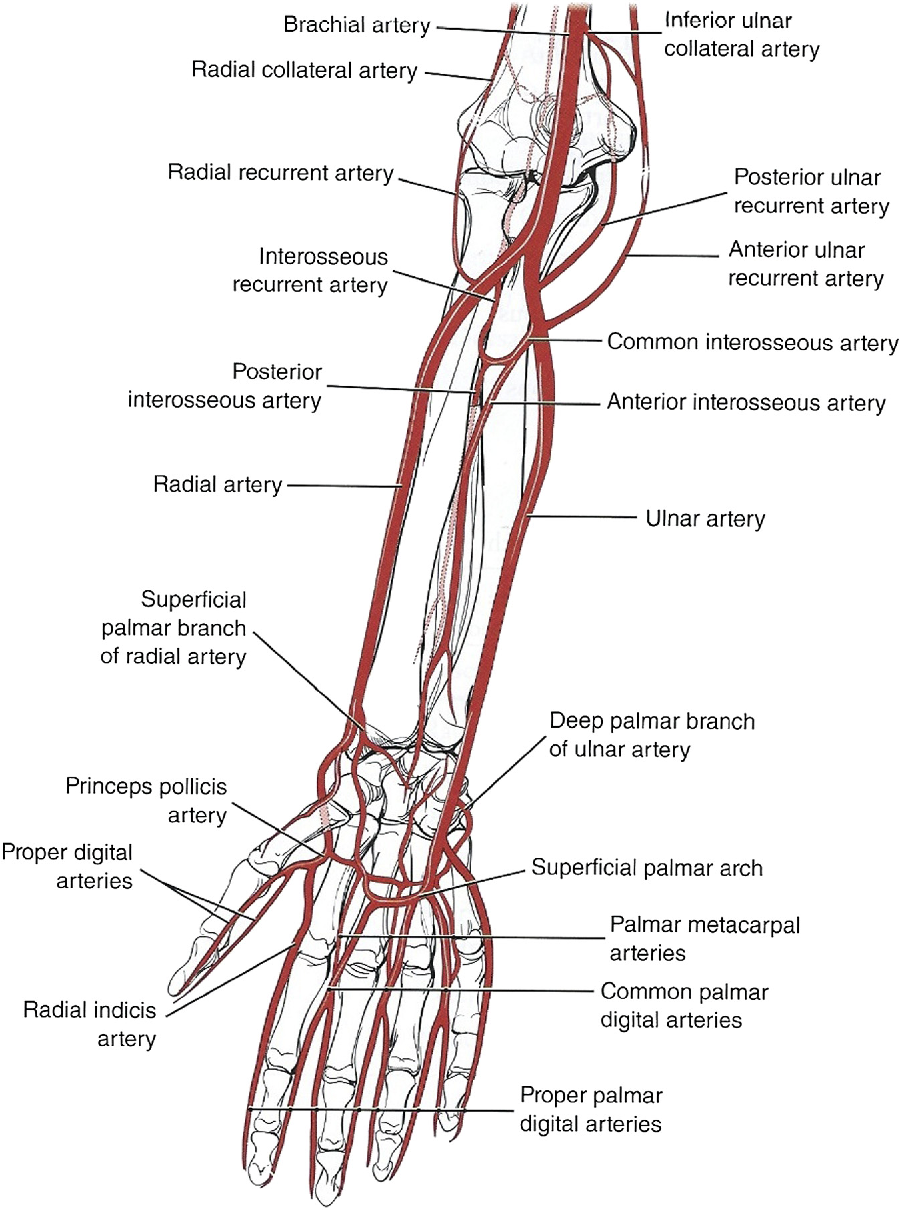Anatomy and physiology of perforator flaps of the upper limb ...