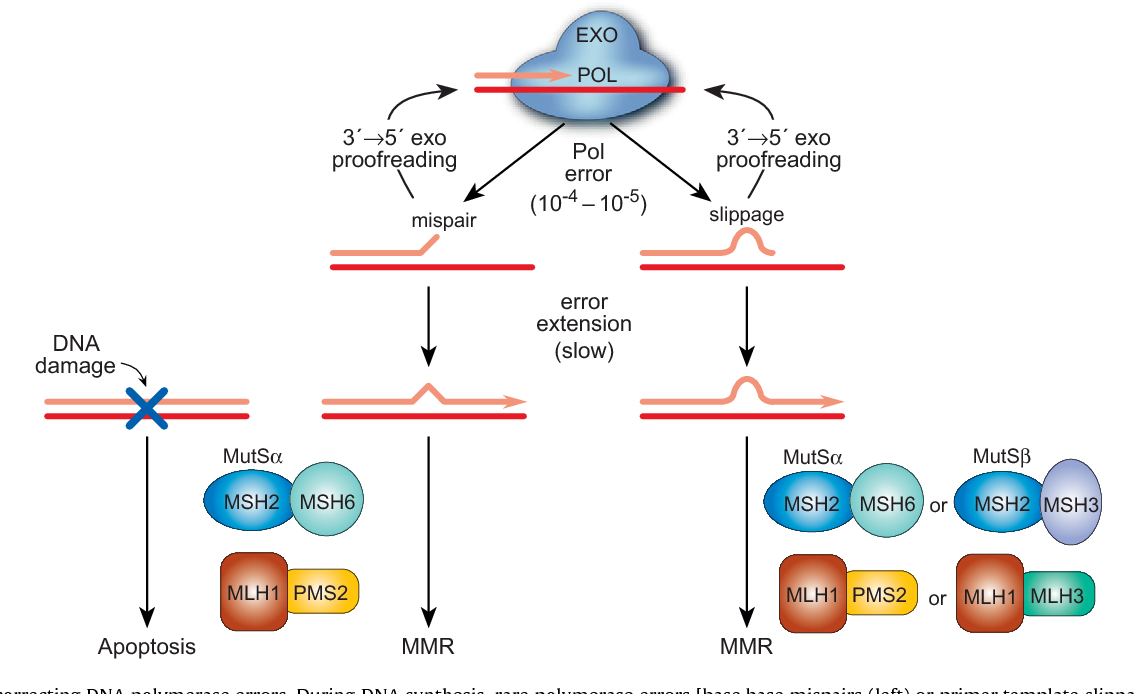Figure 2 from DNA replication fidelity and cancer. - Semantic Scholar