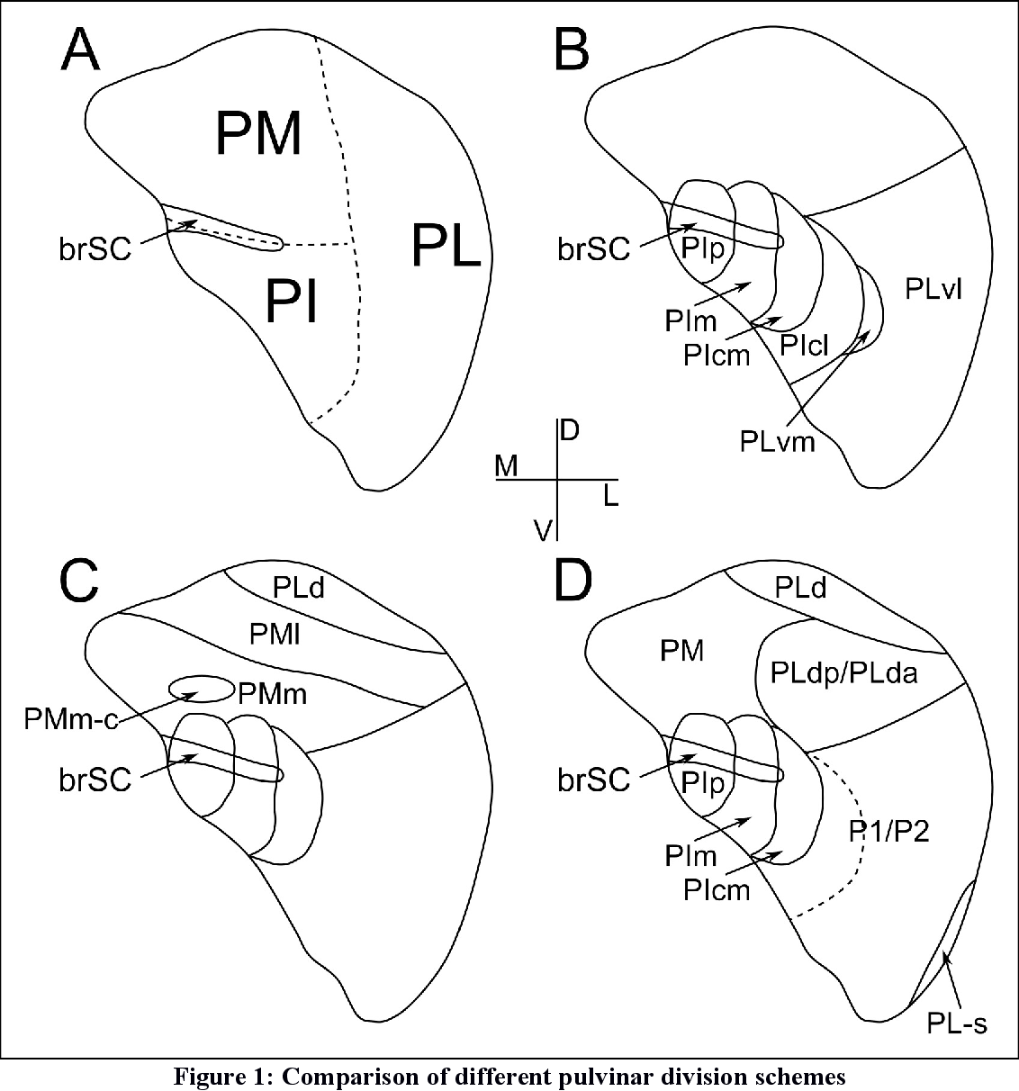 pulvinar and its projections to early visual cortical areas in