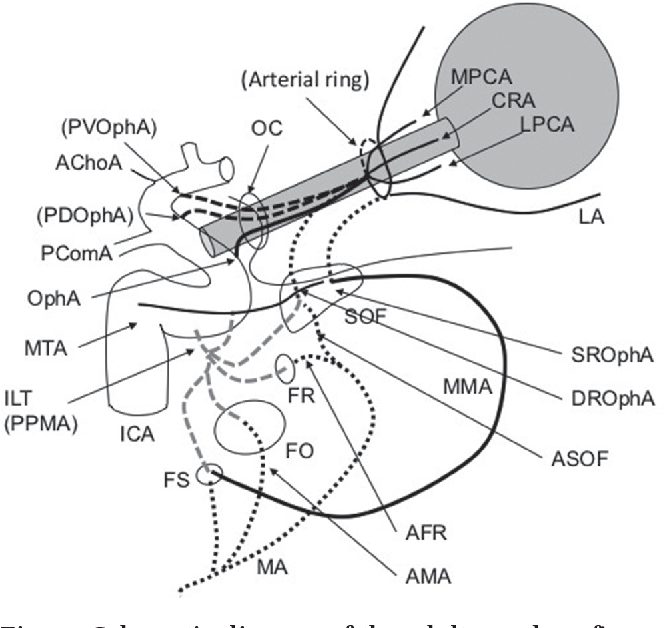 Anatomy of the Ophthalmic Artery: Embryological Consideration ...
