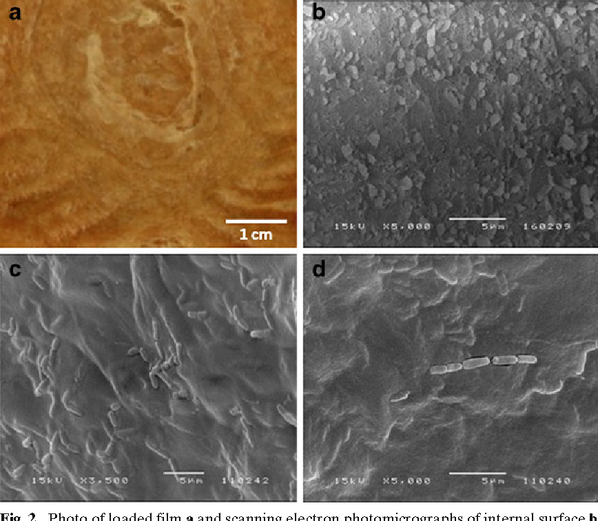 Fig. 2. Photo of loaded film a and scanning electron photomicrographs of internal surface b and L. plantarum loaded external c and internal d surface alginate films produced with 1.6M CaCl2