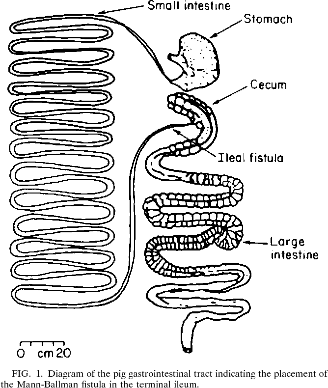 Small Intestine Diagram Swine Collection Of Wiring Diagram