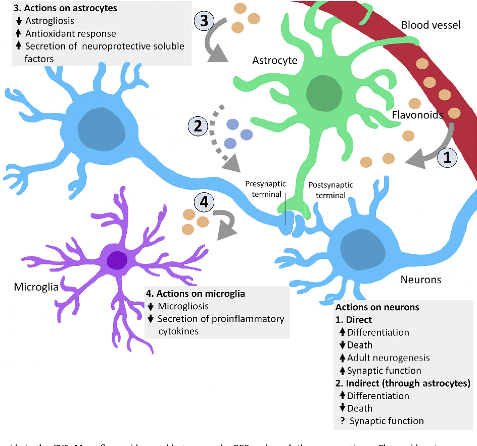 Functions Of Flavonoids In The Central Nervous System Astrocytes As