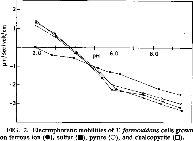 FIG. 2. Electrophoretic mobilities of T. ferrooxidans cells grown on ferrous ion (0), sulfur (-), pyrite (0), and chalcopyrite (0).