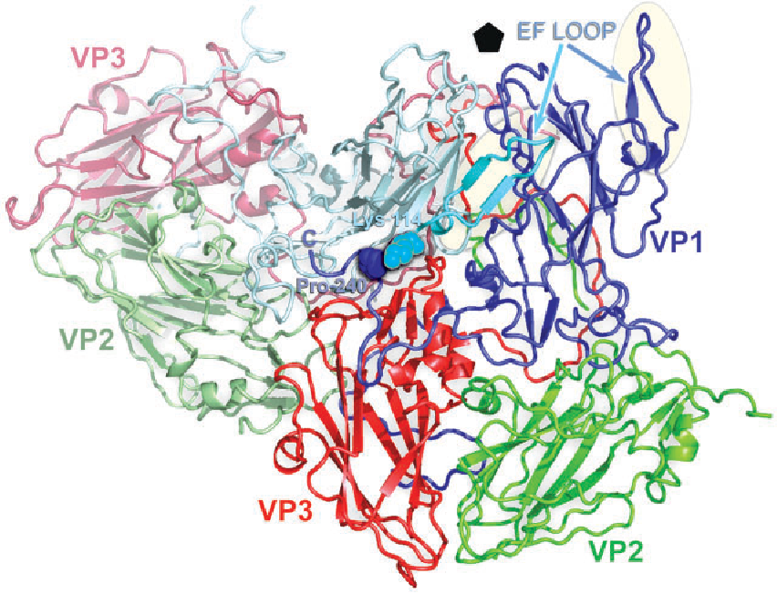 Fig. 3. Antigenicity. A cartoon trace of two biological protomers of ERAV with the proteins (VP1–3) colour coded by the standard convention (see Fig. 2) but brighter for one protomer. The VP1 EF loop from the adjacent (dull) protomer is shown in cyan traversing the inter-protomer boundary to come into proximity to the C terminus of VP1 from its neighbour. The VP1 residues Pro-240 and Lys-114, implicated as forming a single immunogenic site although widely separated in sequence (Kriegshäuser et al., 2003), are highlighted by drawing the residues in a space-filling representation.