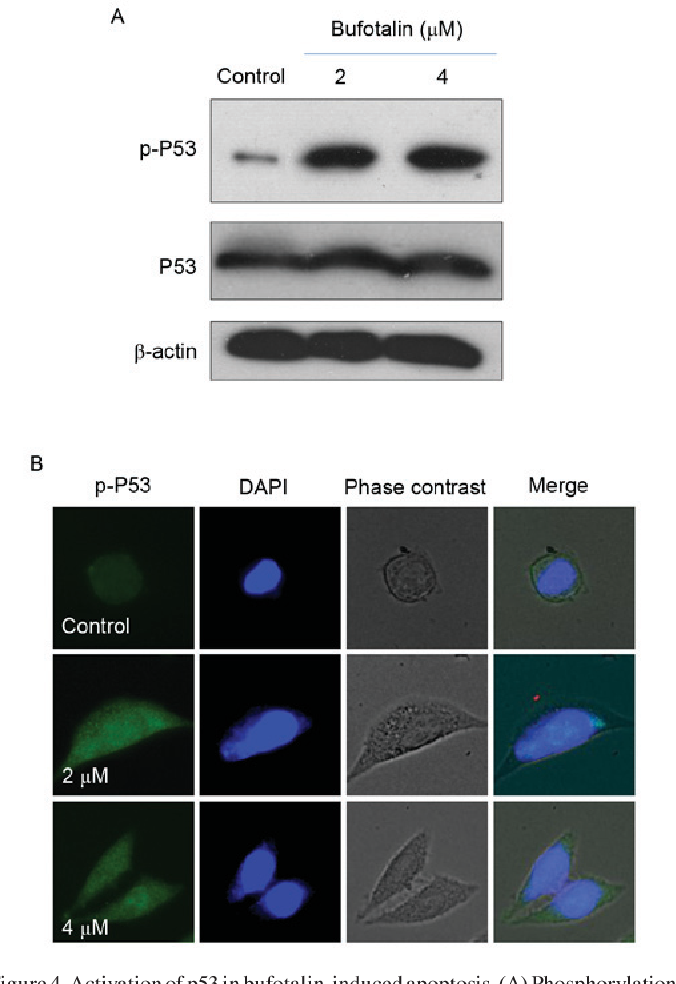 Figure 4. Activation of p53 in bufotalin-induced apoptosis. (A) Phosphorylation of p53 at Ser15 and expression of total p53 in Eca-109 cells treated with bufotalin at 2 and 4 µM for 24 h, assessed by western blotting. Quantitative analysis