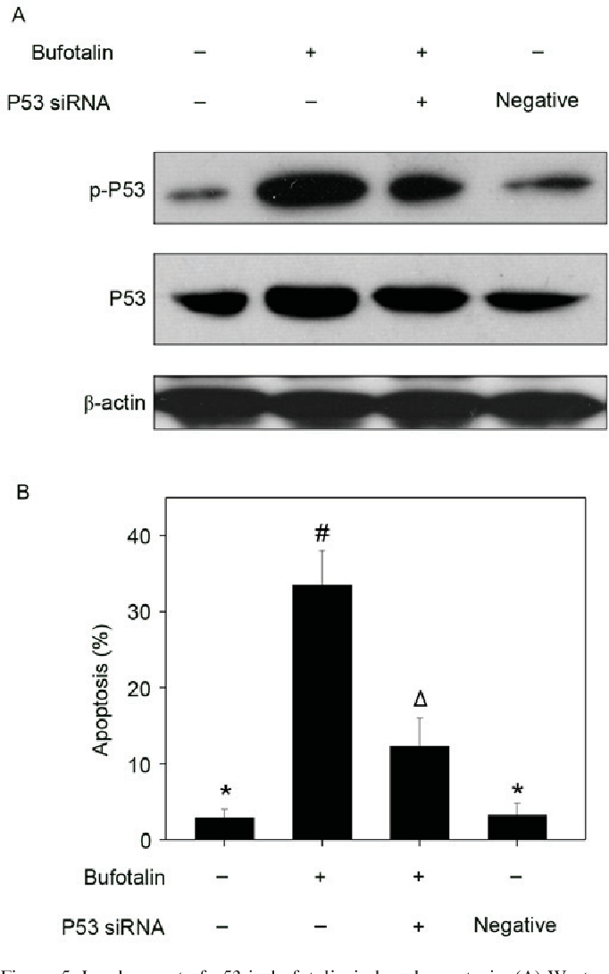Figure 5. Involvement of p53 in bufotalin-induced apoptosis. (A) Western blot analysis of p53 and p-p53 expression following transfection with p53 siRNA and (B) the effects on cell apoptosis following treatment with