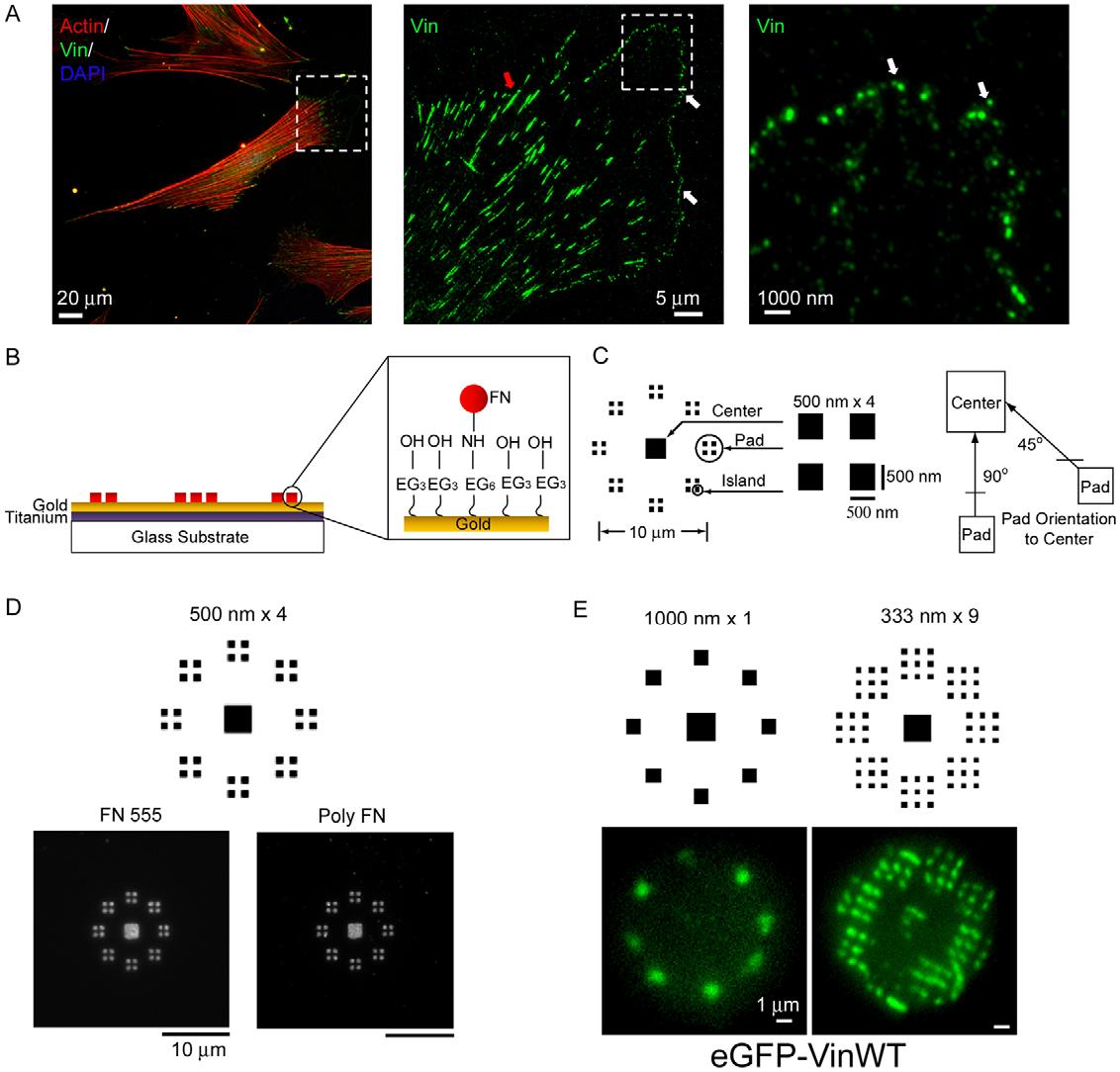 PDF] Nanopatterning reveals an ECM area threshold for focal