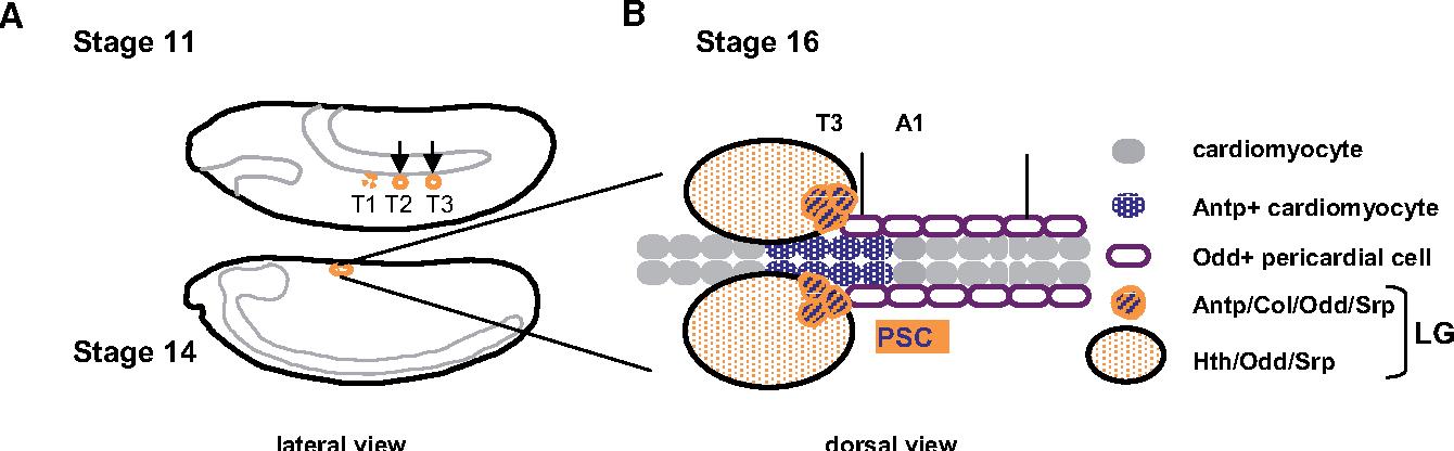 Ontogeny of the Drosophila larval hematopoietic organ, hemocyte ...