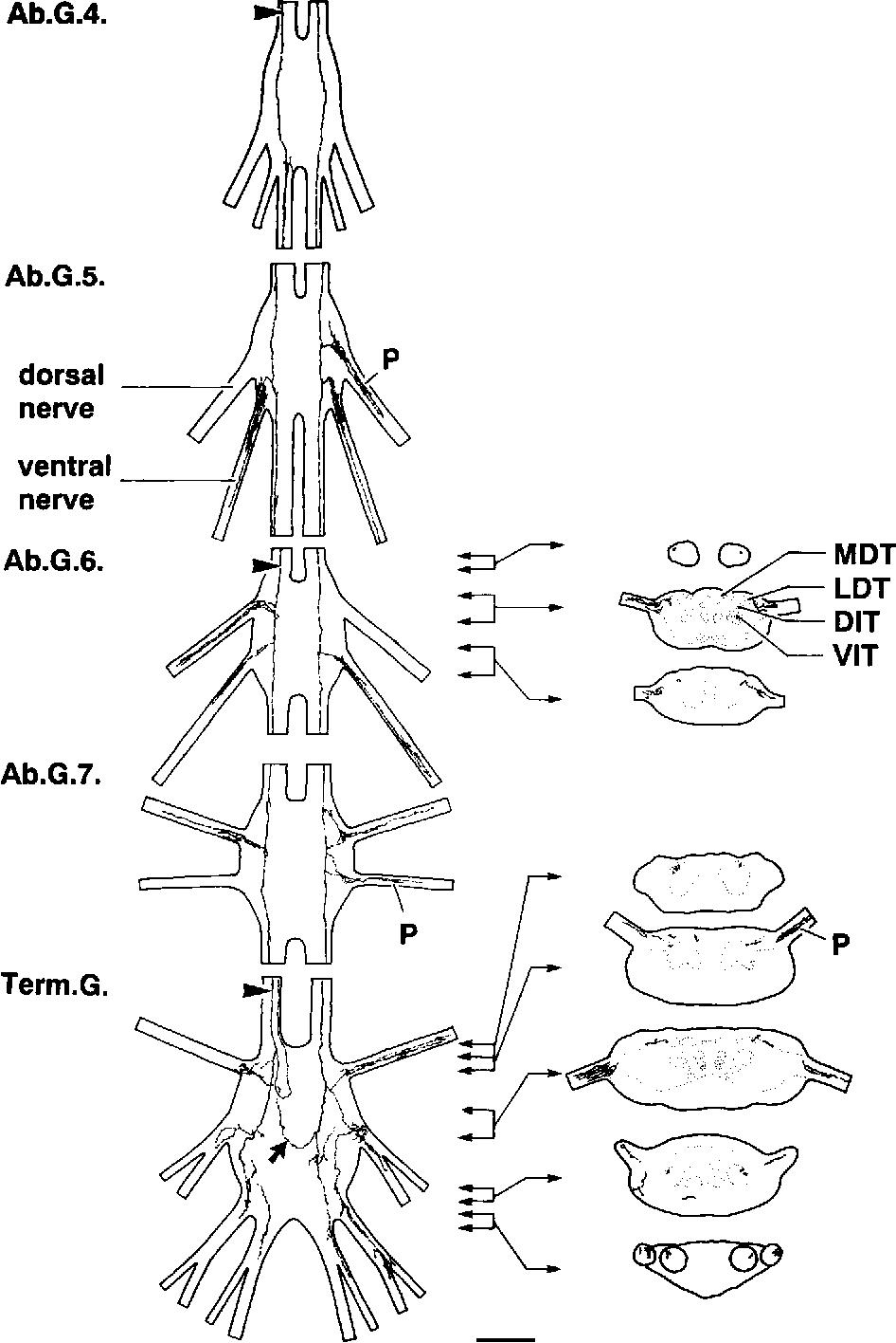 Figure 5 from The vasopressin-like immunoreactive (VPLI) neurons of ...