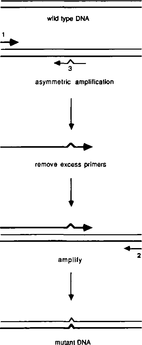 Figure 2. Schematic representation of site specific mutagenesis with a single mutant primer and two flanking primers. A primary mutant fragment is used as a primer on a wildtype template to generate full length mutant product.