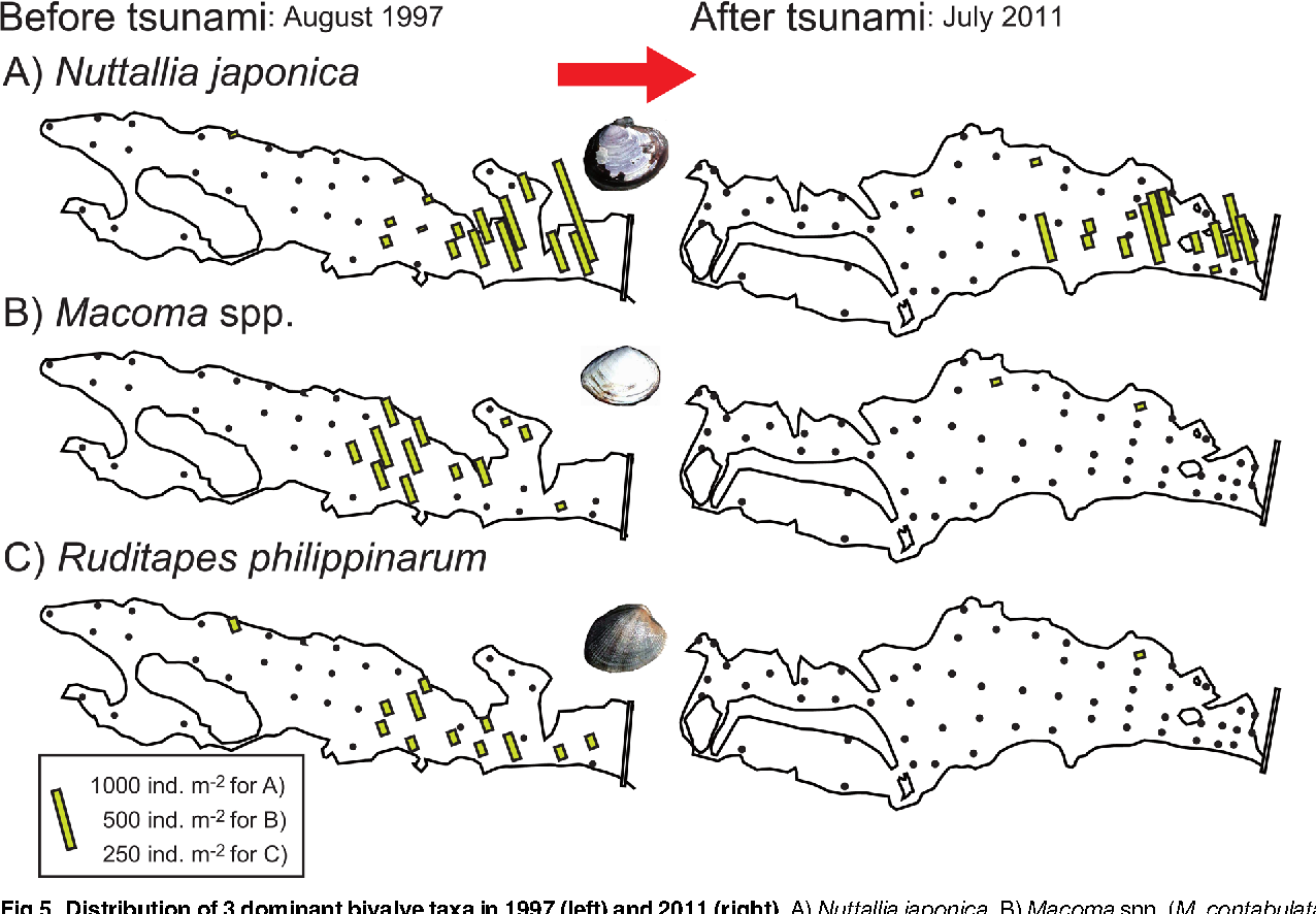 Fig 5. Distribution of 3 dominant bivalve taxa in 1997 (left) and 2011 (right). A) Nuttallia japonica, B)Macoma spp. (M. contabulata andM. incongrua), and C) Ruditapes philippinarum. The column length indicates density (ind. m–2); note that the scale varies among the plots. Results for 1997 were reported in [19].