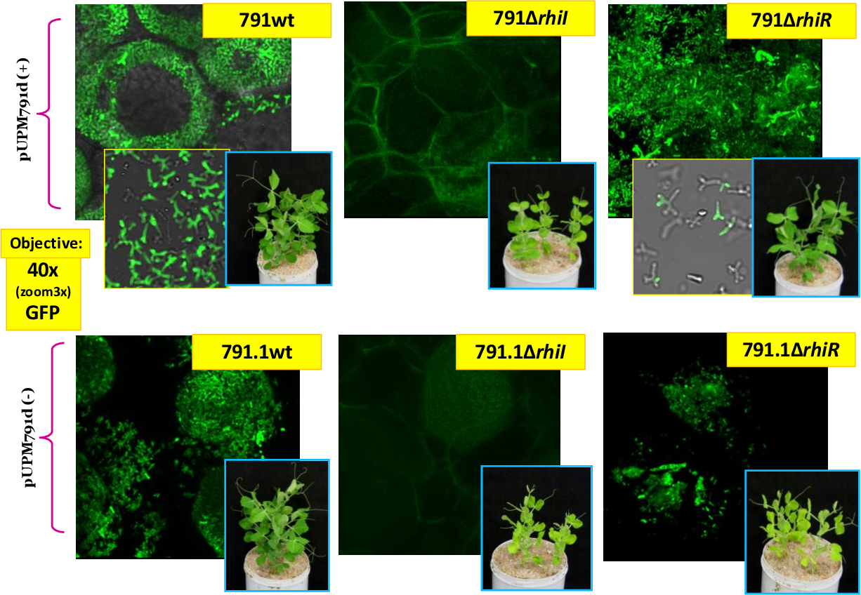 Figure 31. Effect of rhiRI mutants on pea nodule structure. Pictures correspond to thick sections of pea nodules induced by gfp-containing derivatives of the indicated and visualized by confocal microscopy with a 40x objective Insets show the aspect of the corresponding plant, and detailed view of bacteroids