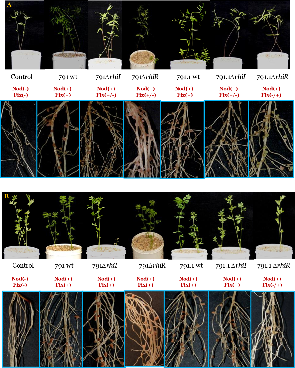 Figure 33. Effect of the legume host on the relevance of rhiRI genes on symbiotic performance. Upper pictures shows the aerial part of vetch (A) or lentil (B) plants 21 days after inoculation, whereas the lower pictures show a detail of the roots corresponding to each of the strains tested.