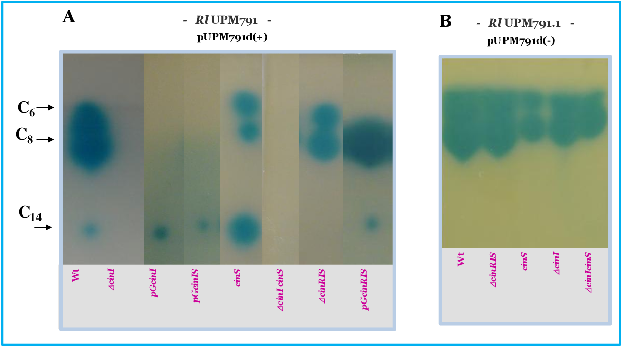 Figure 37. Effect of mutations in cin genes on AHL profile. The picture shows the result of TLC analysis of extracts obtained from medium supernatant from the indicated strains. AHL were detected by using the reporter strain A. tumefaciens NT1(pZRL4) as overlay. The amount of extract loaded corresponds to 2.5 ml of culture supernatant.