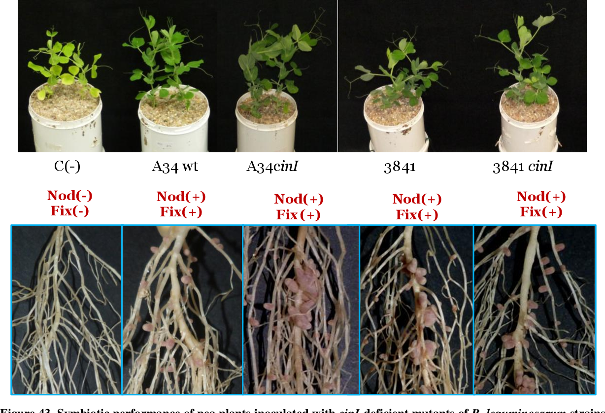 Figure 43. Symbiotic performance of pea plants inoculated with cinI-deficient mutants of R. leguminosarum strains A34 and 3841. Upper pictures shows shoot part of the plant, whereas the lower pictures shows a detail of the roots for each of the strains tested