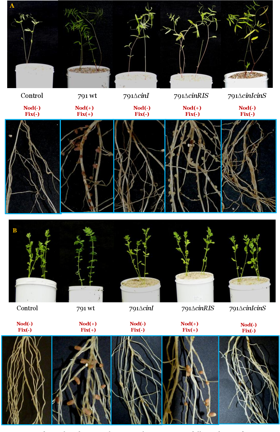 Figure 44. Analysis of symbiotic performance of cin mutants in different legume hosts. Upper pictures show shoot part of the plant, whereas the lower pictures show a detail of the roots for each of the strains tested.