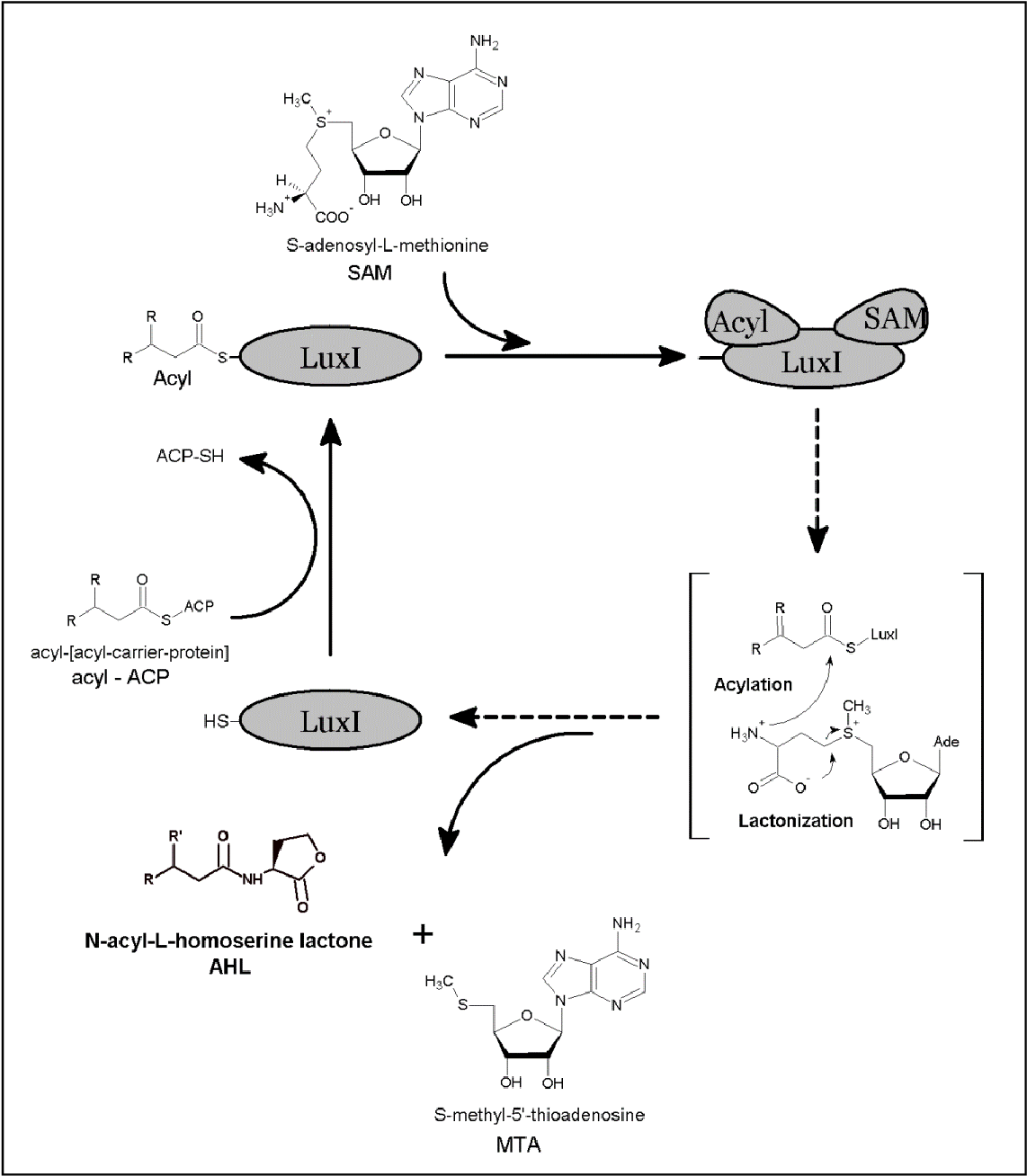 Figure 2. Enzymatic mechanism of AHL synthesis by LuxI. The reaction mechanism is sequentially ordered. The initial step is binding of acyl-ACP and SAM. ACP is released followed by amide formation between the amino group of SAM and the acyl group of the fatty acid. Lactonization of the homoserine lactone ring occurs with the subsequent release of the AHL and MTA in the final step.