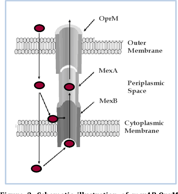 Figure 3. Schematic illustration of mexAB-OprM RND multidrug efflux system from P. aeruginosa (adapted from Aeschlimann 2003).