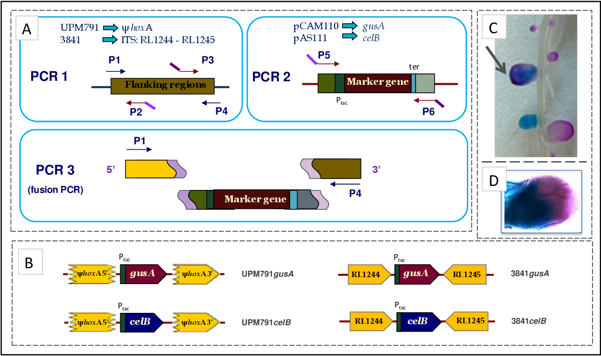 Figure 17. Construction of marked strains. (A) Design of fusion PCRs in a three-step procedure. As indicated, the two DNA fragments amplified independently in PCR1 correspond to ψhoxA for Rlv UPM791 and to RL1244RL1245 intergenic region for Rlv 3841. DNA fragments amplified in PCR2 correspond to marker genes gusA from pCAM110 and celB from pAS111. DNA regions corresponding to promoter (Ptac) and terminator (ter) of marker genes are indicated. PCR3 corresponds to the fusion PCR of the fragments previously amplified. Primer designation shown in the scheme reflects the general name adopted for the corresponding primer in each of the strains used (see Table 1). Similar colours in primer arrows indicate complementary sequences, which are highlighted in PCR3. (B) Schematic view of the final constructions for the strains generated. (C) Detail of a double-stained pea root inoculated with a 1:1 mixture of Rlv 3841gusA and 3841celB strains. Nodules induced by celB+ (blue) and gusA+ (red) strains are shown, along with a nodule arising from a double infection event, indicated by an arrow. (D) Microscopic view (bright field, 10x objective) of a thick section of a pea root nodule showing a mixed infection.