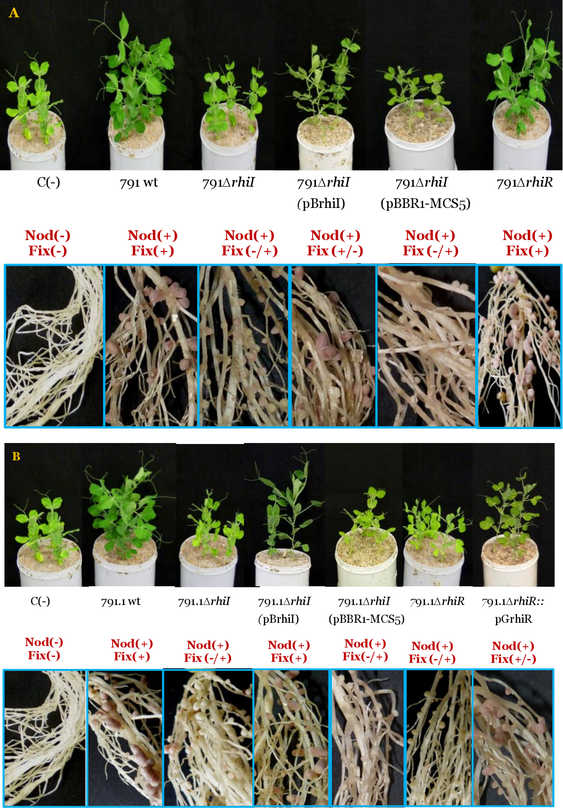 Figure 29. Effect of rhiI and rhiR genes on symbiotic performance of Rlv UPM791 (A) and Rlv UPM791.1 (B). Pictures shown on the top correspond to the aerial part of pea plants 21 days after inoculation with the indicated R. leguminosarum strains. Pictures shown below correspond to details of the corresponding root systems. Relevant symbiotic phenotypes are indicated.