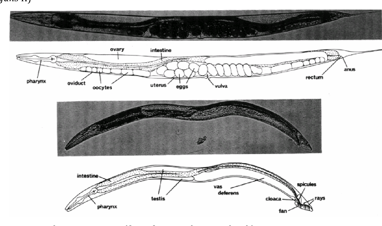 c.elegans research papers Since its establishment as a model organism, caenorhabditis elegans has been an invaluable tool for biological research an immense spectrum of questions can be.