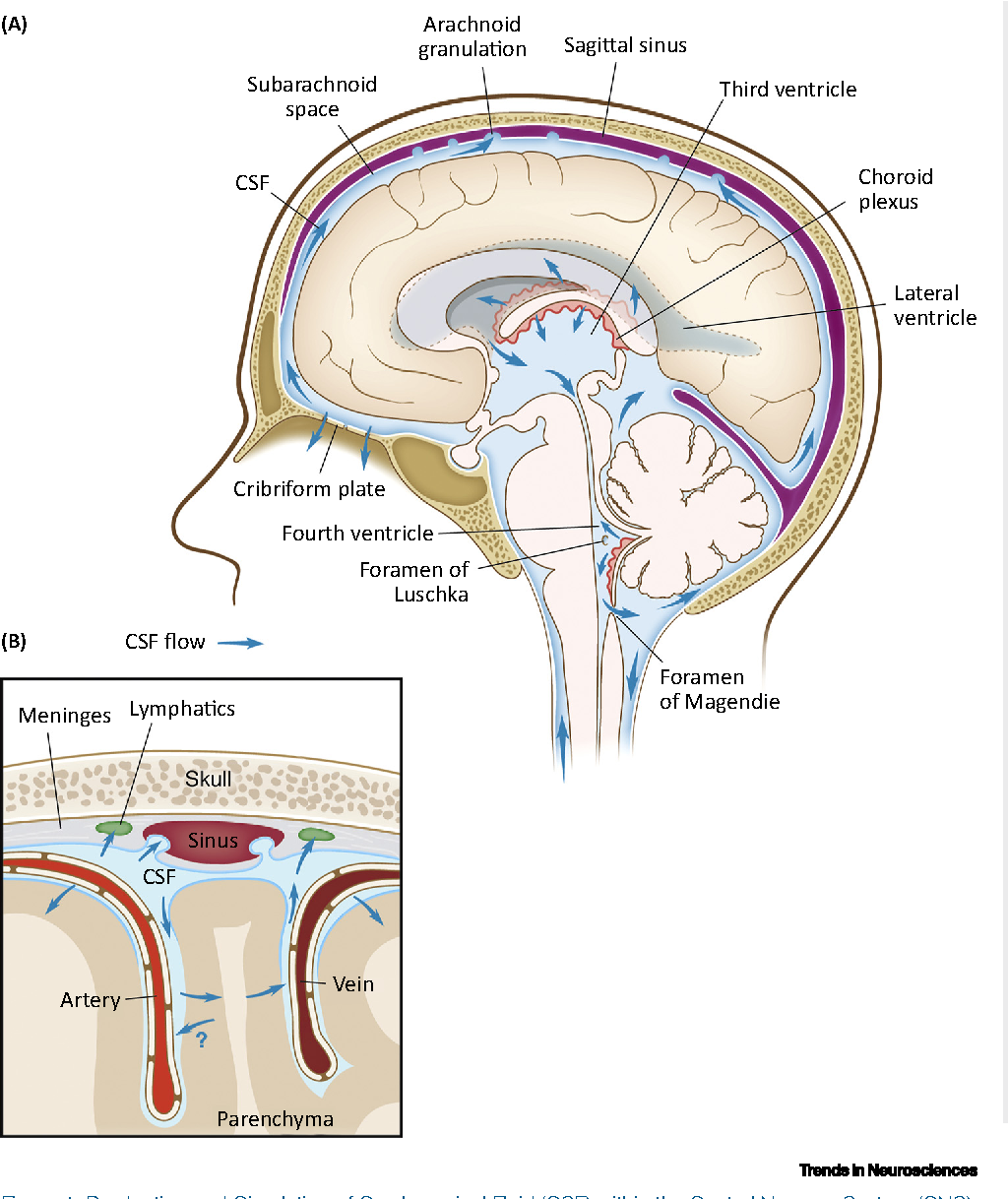 How Do Meningeal Lymphatic Vessels Drain The Cns Semantic Scholar