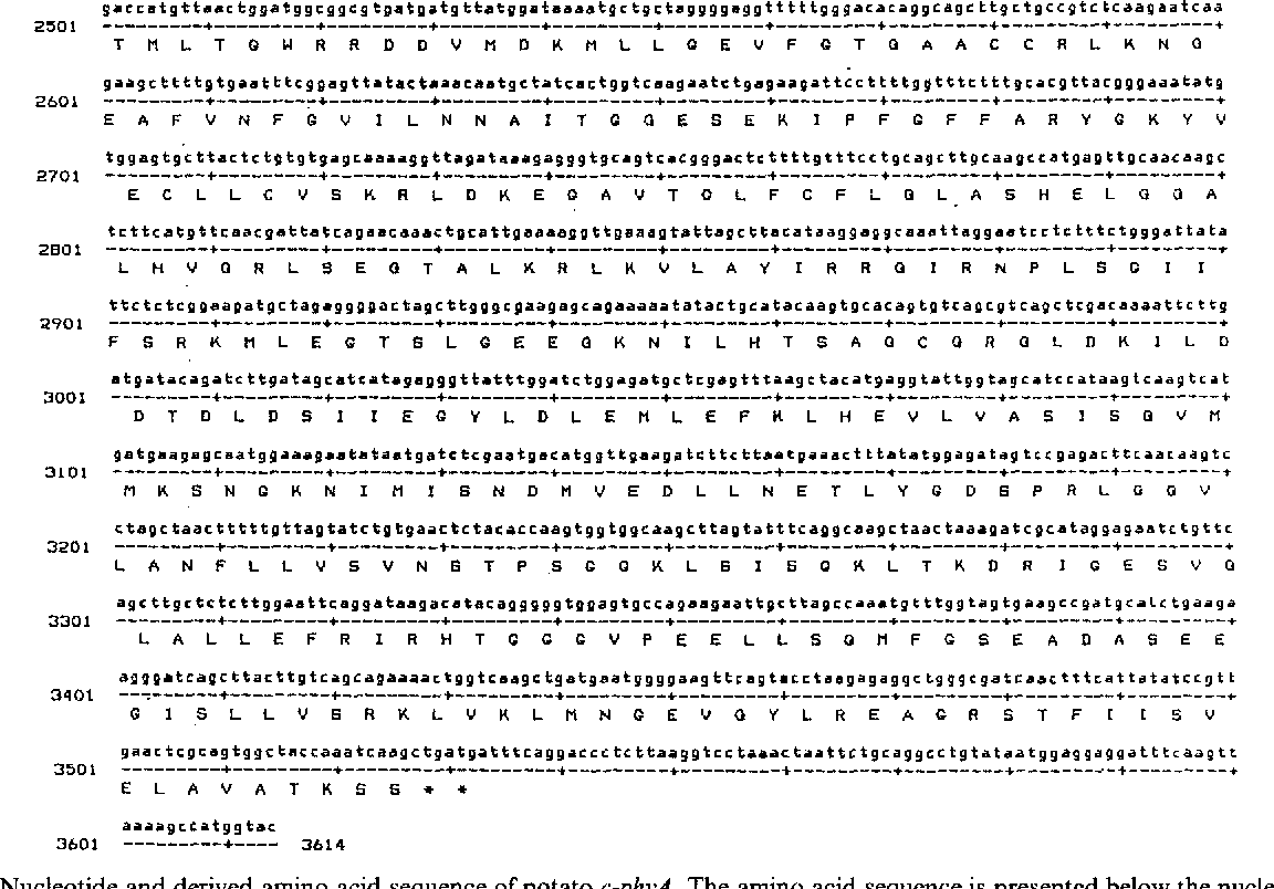 Fig. 1. Nucleotide and derived amino acid sequence of potato c~hyA. The amino acid sequence is presented below the nucleotide sequence in sinNe-letter code.