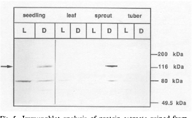 Fig. 5. Immunoblot analysis of protein extracts gained from different potato organs grown either in the dark (D) or in the light (L).