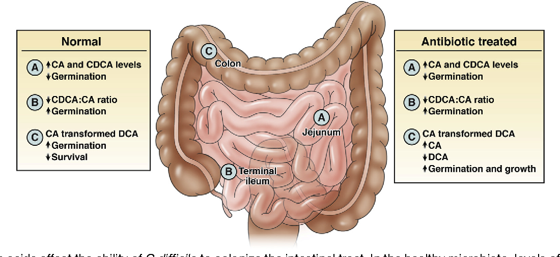 Role Of The Intestinal Microbiota In Resistance To Colonization By