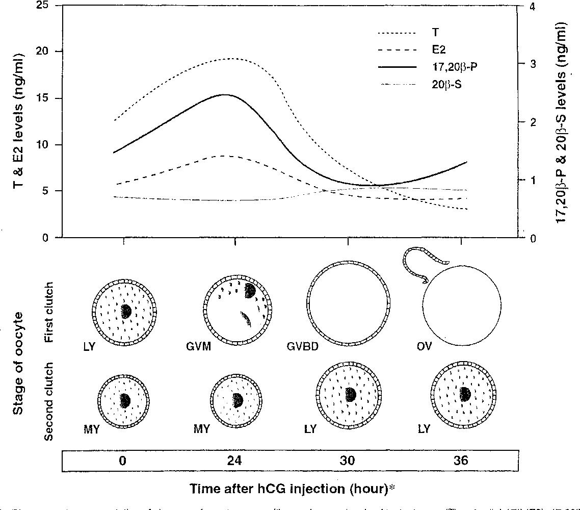Figure 5 from Steroidogenesis in Ovarian Follicles of Chub Mackerel