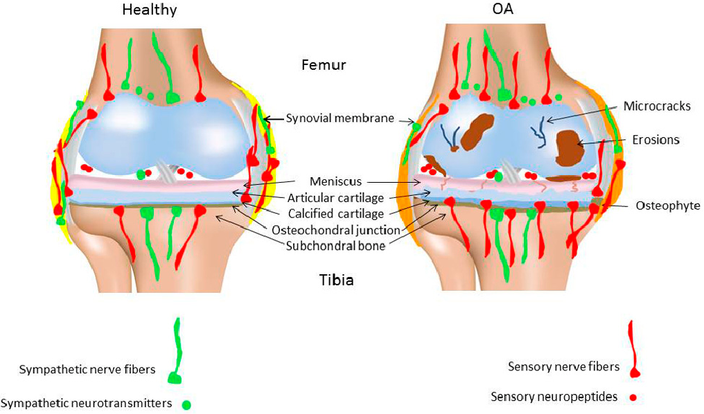 Peripheral Nerve Fibers and Their Neurotransmitters in ...