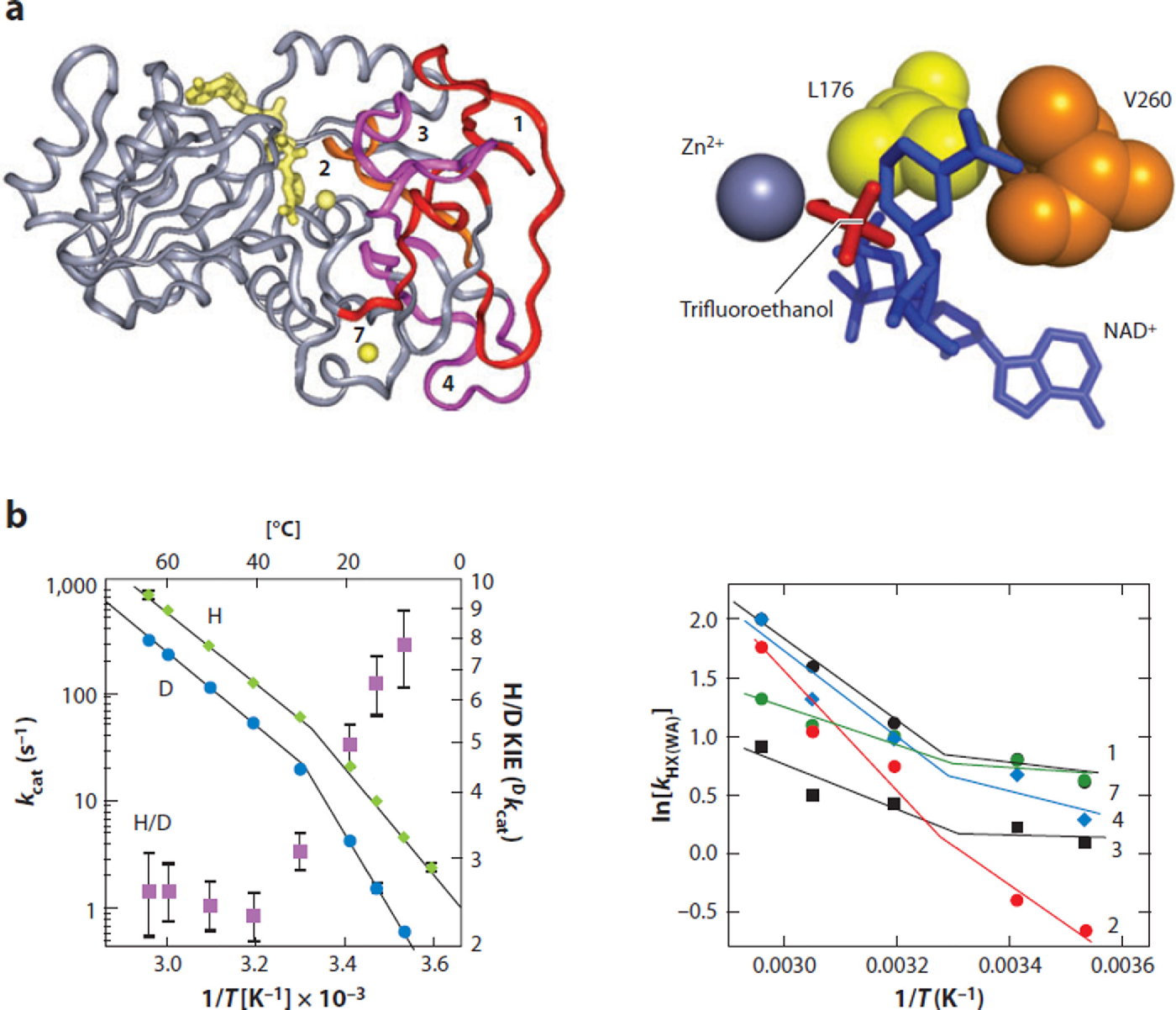 Figure 4. Identification of the regions of thermophilic alcohol dehydrogenase (ht-ADH) that are more flexible above 30°C. Hydrogen/deuterium (H/D) exchange coupled to mass spectrometric analyses of protein-derived peptide shows five peptides that undergo a temperaturedependent transition between 10°C and 65°C, analogous to the temperature dependence of the kcat and KIE. (a, left) The five peptides are mapped onto the ht-ADH structure and colored red/orange/magenta over a gray background. The active-site Zn2+ is shown as a yellow ball near peptide two, and the cofactor NAD+ is modeled into the active site (also in yellow). Reprinted with permission from Proc. Natl. Acad. Sci. USA. Copyright © 2004, National Academy of Sciences USA (119). (a, right) The active-site hydrophobic side chains (Leu176 and Val260) that sit behind the nicotinamide ring of cofactor are illustrated. Reprinted with permission from Biochemistry. Copyright © 2012, American Chemical Society (123). (b) The 30°C transition in behavior occurs in kcat, Dkcat, and kHX(WA); the