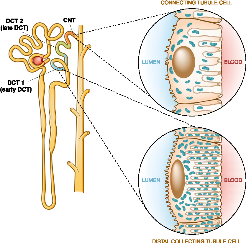 Renal Physiology Distal Convoluted Tubule - Semantic Scholar