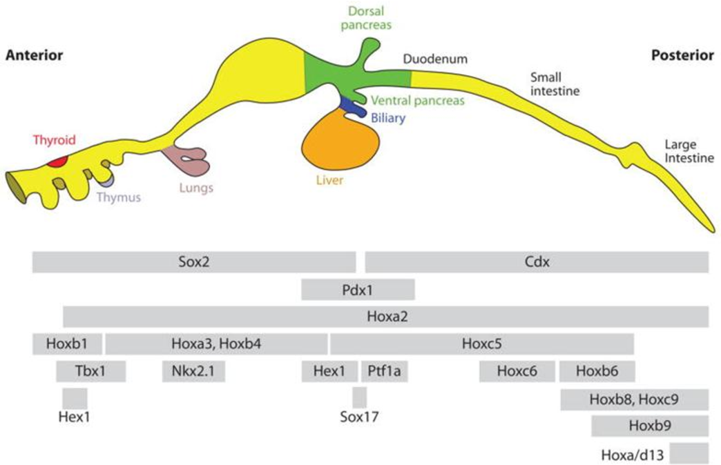 The Role Of Hes 1 In Pancreas Development Semantic Scholar