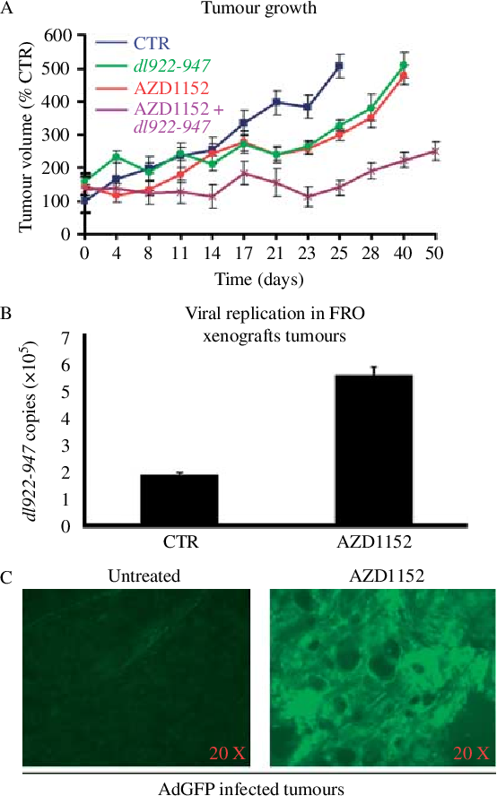 Figure 6 AZD1152 delays tumour growth and facilitates dl922-947 replication and distribution. (A) Tumour bearing mice were randomized into four groups. Two groups received AZD1152 (100 mg/kg per day) i.p. from T1 to T3 and from T15 to T17. dl922-947 (1!106 pfu, in a volume of 300 ml) was injected at T4, T8, T11 and T15 into one AZD1152-treated group and one untreated group. The control group was injected with saline solution. Tumour volume is expressed as a percentage of the volume observed at day 0 in the control group. The difference between treated and untreated groups becomes statistically significant (P!0.05) from day 17 for virus versus control and drug versus control, and from day 8 for combined treatment versus control. At day 21, a significant difference (P!0.05) was observed between the combined treatment group and single treatment groups. From day 23 till the end of the treatment, the difference became highly significant (P!0.01). (B) FRO cells (1!107 cells) were injected intratumourally within ten athymic mice. Forty days later, when tumours were detectable, animals were divided into two groups, which received respectively AZD1152 (2.5 mg/mouse) or saline solution i.p. After 24 h, dl922-947 (1!106 pfu, in a volume of 300 ml) was injected intratumourally in both groups. Two days later, animals were killed. DNA was extracted from 100 mg of tumour tissue, and the number of viral copies was evaluated by real-time PCR. The data are the mean of three different experiments. (C) Ten FROinduced xenograft tumours were injected i.p with AZD1152 (100 mg/kg per day) or saline solution for 3 consecutive days and, after 2 days, AdGFP (1!107 pfu, in a volume of 300 ml) was injected intratumourally in both groups. Twodays later, animals were killed, tumours were excised and GFP distribution was evaluatedbyconfocalmicroscopy.Thequantificationof thedigitized signal showed a threefold increase upon AZD1152 treatment.