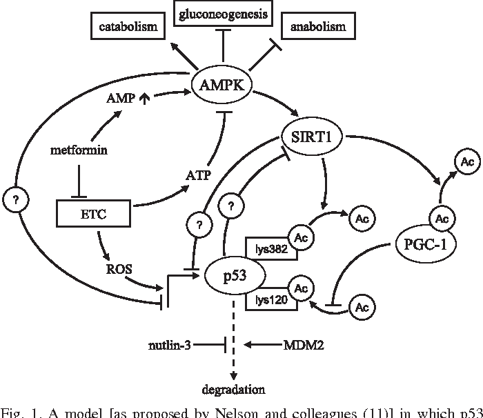 Figure 1 From Metformin Metabolic Stress And Mitochondria Focus