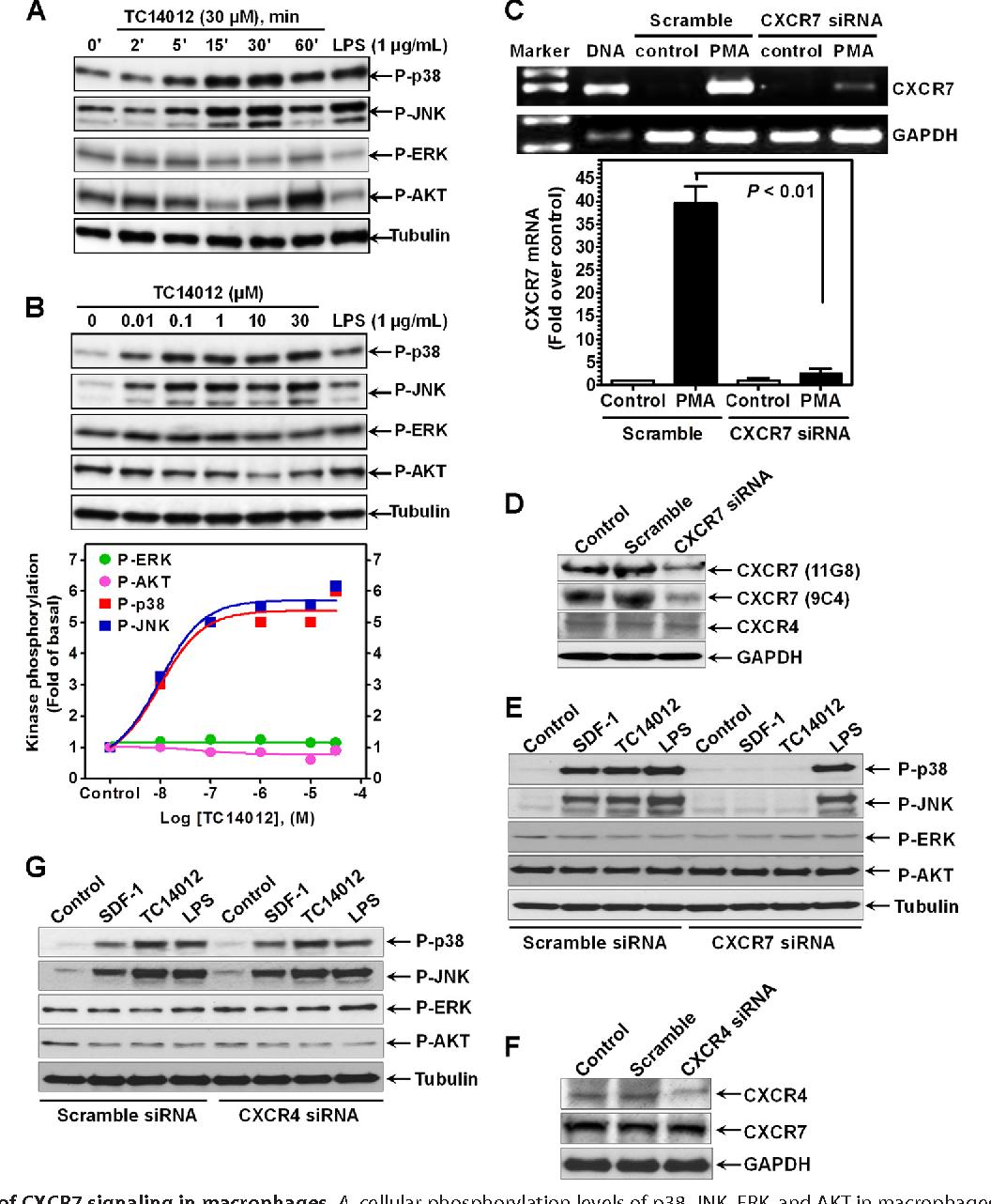 Induction of C-X-C chemokine receptor type 7 (CXCR7) switches ...