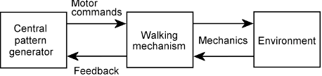 Figure 4 for Evolution of central pattern generators for the control of a five-link bipedal walking mechanism
