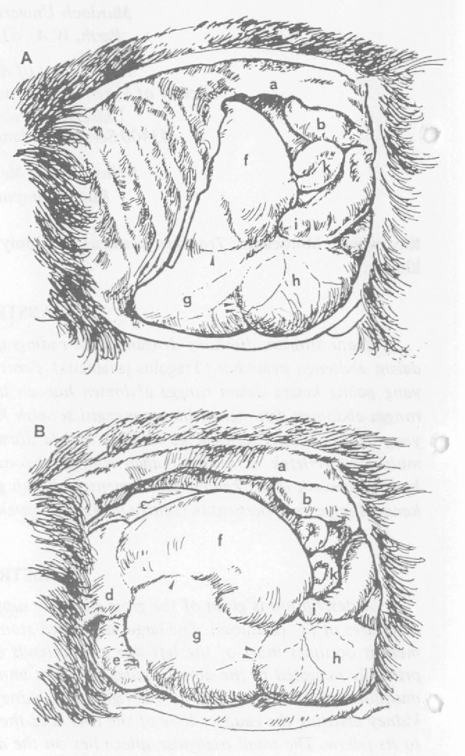 Figure 1 From Topographic Anatomy Of The Abdomen Of The Lesser