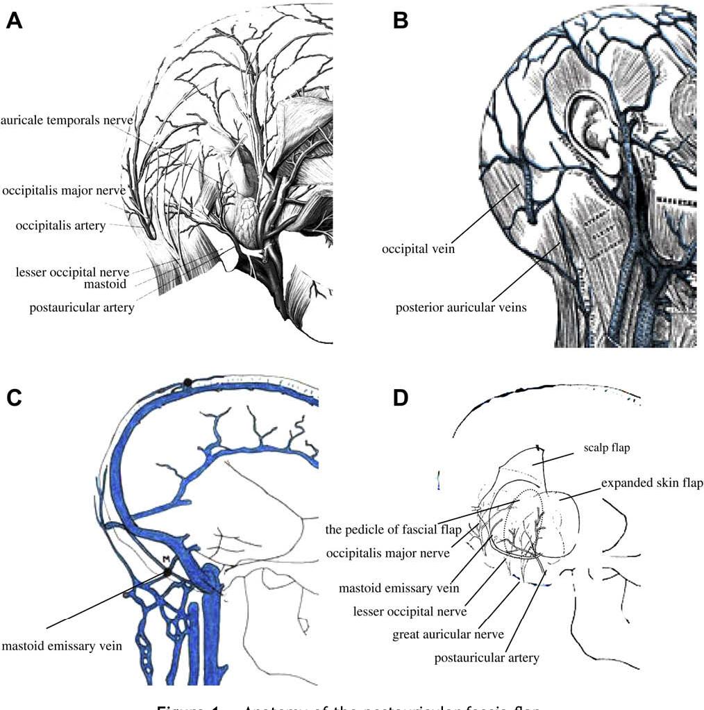 Awesome Occipital Nerve Anatomy Photos - Human Anatomy Images ...