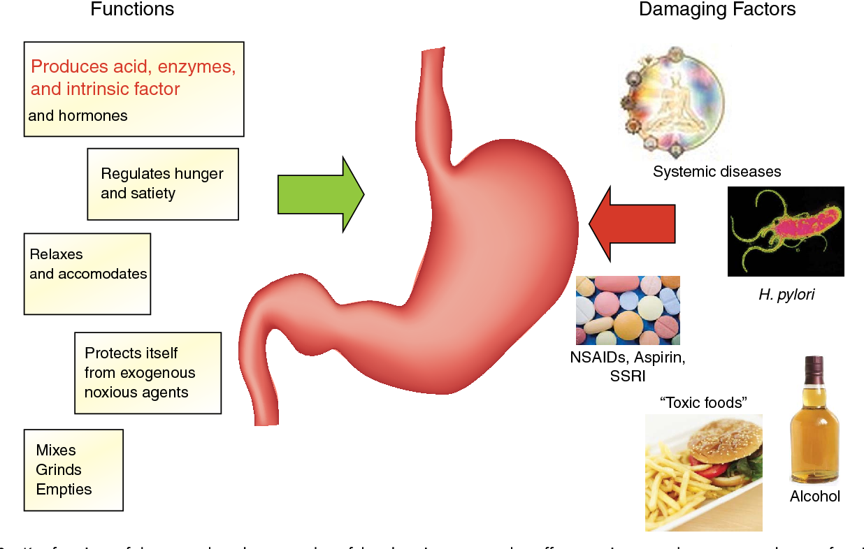 Figure 10 From The Stomach In Health And Disease Semantic Scholar