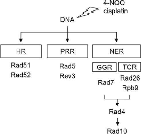 Fig. 1. Schematic representation of the simplest genetic relationship between the repair genes examined in this study. The lightning denotes DNA damage caused by 4-NQO or cisplatin. The repair pathways are indicated in the rectangles.