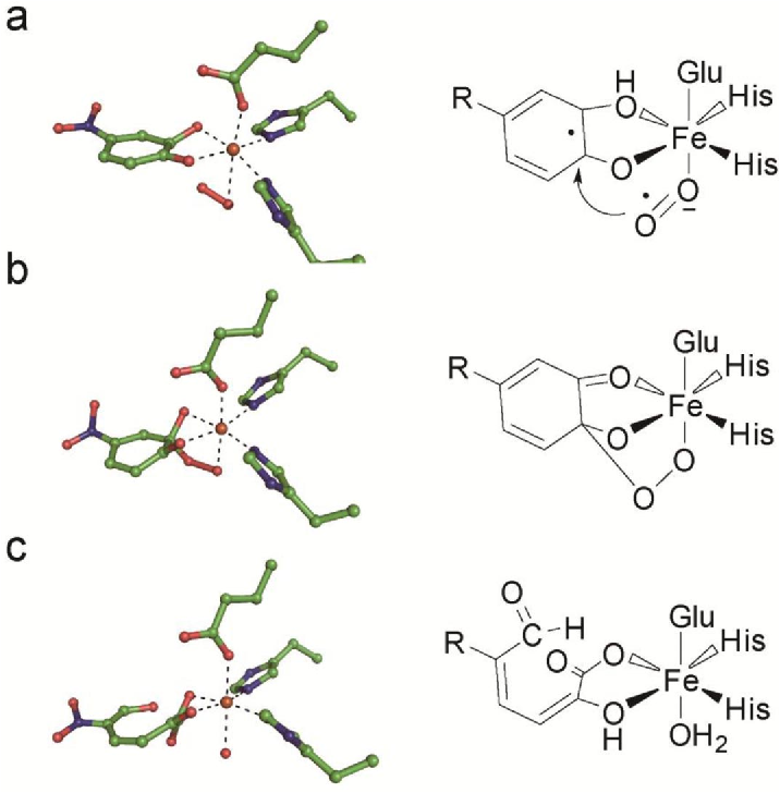 4 intermediates trapped during the oxidation reaction catalyzed by  extradiol ring-cleaving dioxygenase
