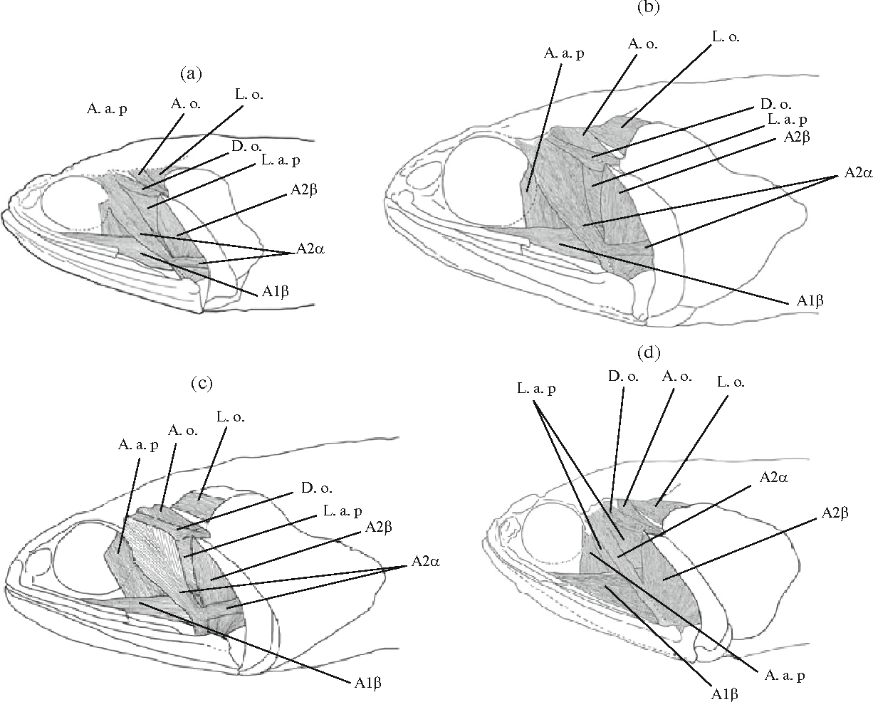 Figure 1 From Anatomy Of Fishes Of Genus Lampanyctus Sensu Lato