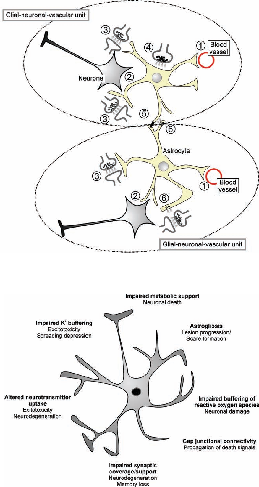 Fig. 1. Integrative role of astroglia. Grey matter astrocytes occupy  clearly defined territories