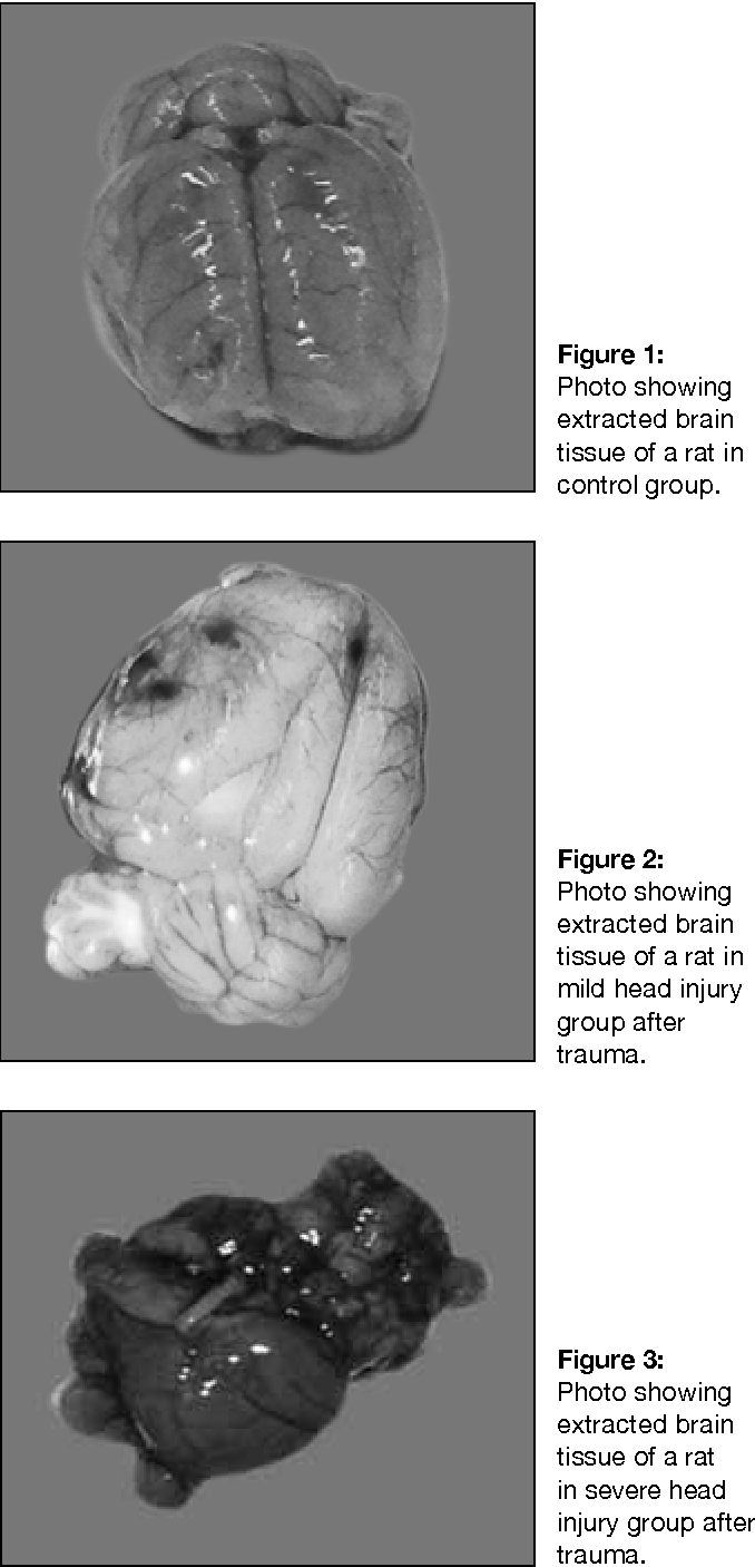 Figure 2: Photo showing extracted brain tissue of a rat in mild head injury group after trauma.
