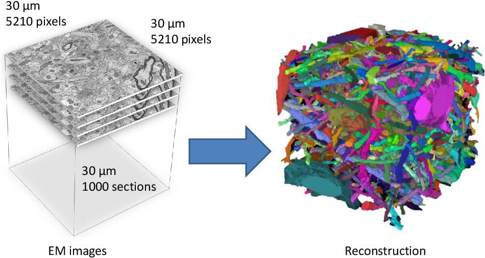 Figure 1 for Large-Scale Automatic Reconstruction of Neuronal Processes from Electron Microscopy Images